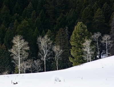 Late Winter Aspens