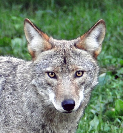 My Eyes are Upon You  -  Coyote