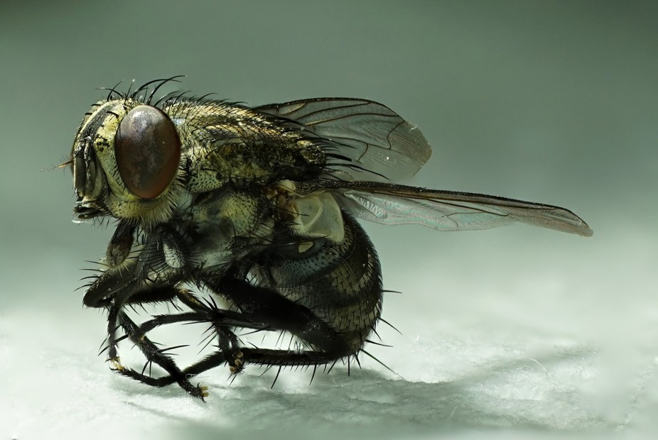 fly posing for photo. Frozen fly macro photo. 46-frame photo stack.