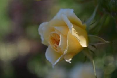 London Rose