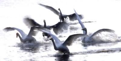 Bewick swans (Favourite shorebird)