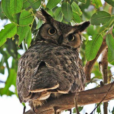 Great Horn Owl head turned 180 drgree MG_0673