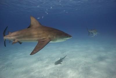 Bimini Bull Shark