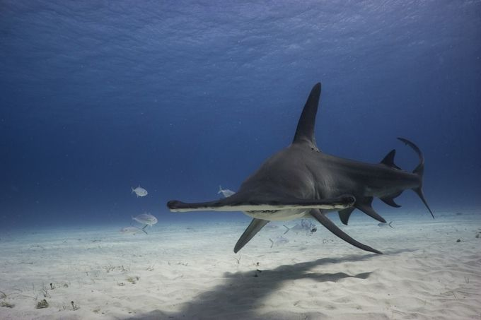 Hammerhead On by MattWFrost - Wildlife And Water Photo Contest
