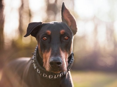 Heaven in a Doberman's Eyes