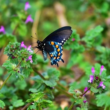 Early Spring Swallowtail