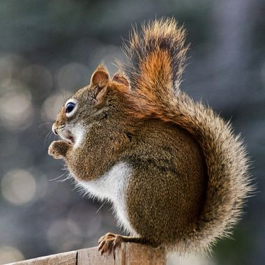 A red squirrel on a wooden fence with its tail held close.