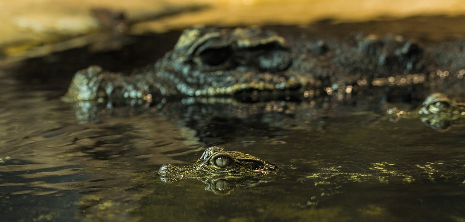 baby crocodile with its mother