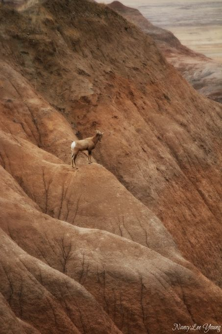 One of many Big Horn Sheep in Badlands National Park