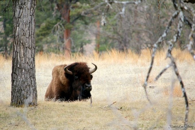 A Bison relaxing in Custer State Park, South Dakota
