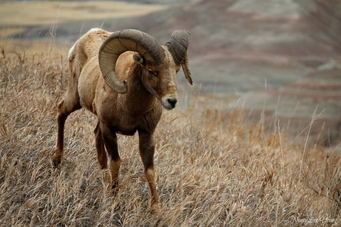Big Horn Sheep in Badlands National Park