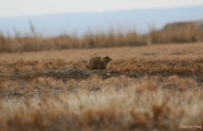 This is one of many Prairie Dogs that call Badlands National Park home.