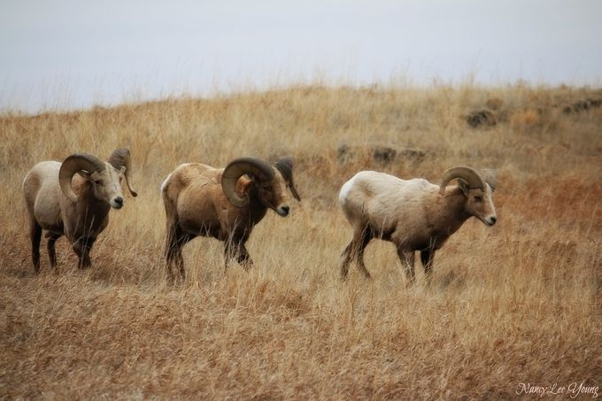 Three Big Horn Sheep in Badlands National Park