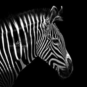 Thanks for your visits, your comments awards and likes! Black and White Animal Portrait by Dez Karpati