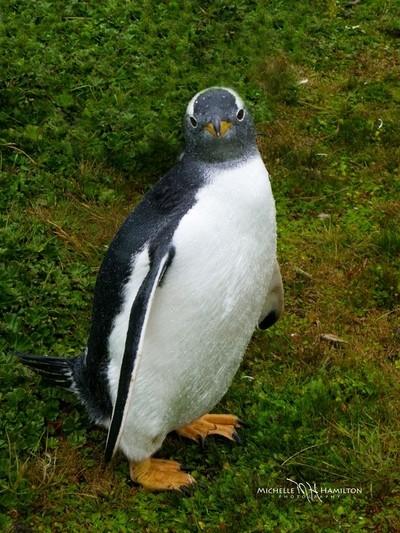Gentoo Penguin_Falkland Islands