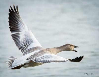 snow goose,