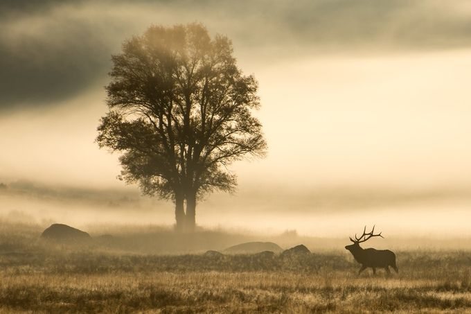 Elk in the Mist by RickAustin - Mist And Drizzle Photo Contest