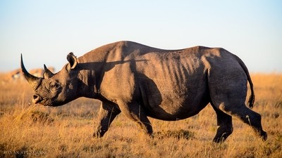Golden black rhino