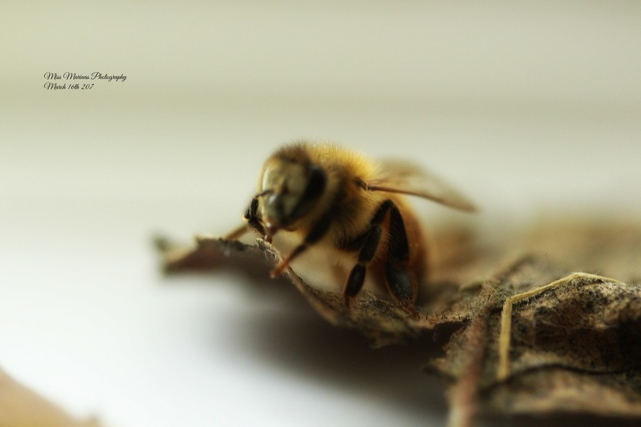 first honey bee of spring