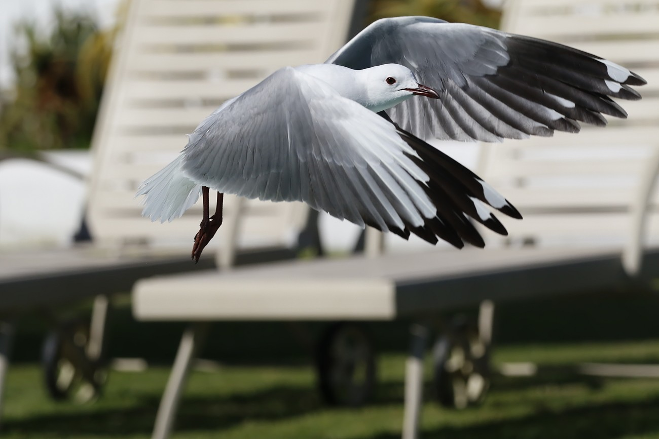 Gull taking off after a bath in swimming pool.