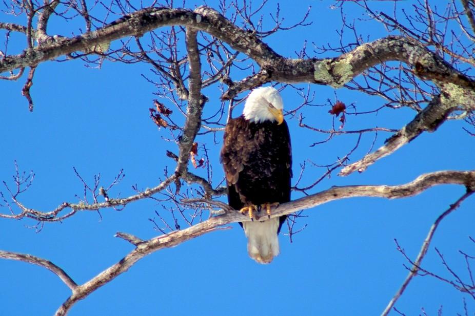 head, down, eagle, bald, American, bird, bird of prey, nature, outdoors, wild, animal, Maine