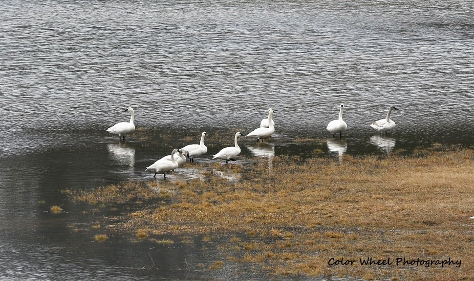 9 swans stopped for a rest in this flooded field.