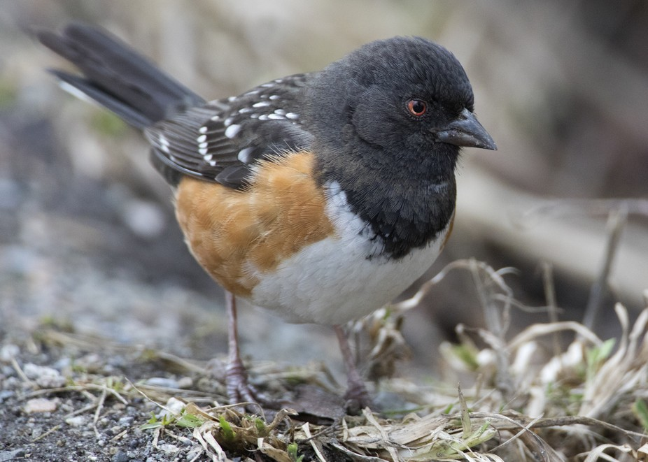 Spotted Towhee (Pipilo Maculatus)  standing there wondering why the his name Rufous-sided Towhee ...