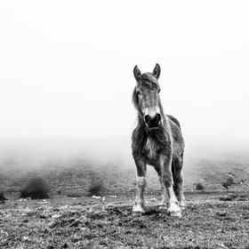 I was lucky to find this wild horse in the middle of the fog. I could keep close to him for an instant and we looked at each other. It was a magi...