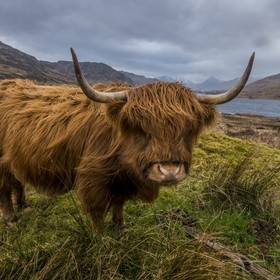 A Long Horned Highland Cow takes me up on a staring competition over looking the majestic Loch Chon