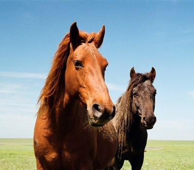Wild Horses, Island Vodny, Manych-Gudilo Lake, Rostov Natural Park, Russia, April 2016