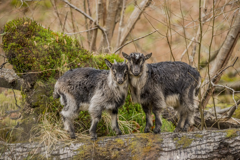 Wild goats caught me taking their photo