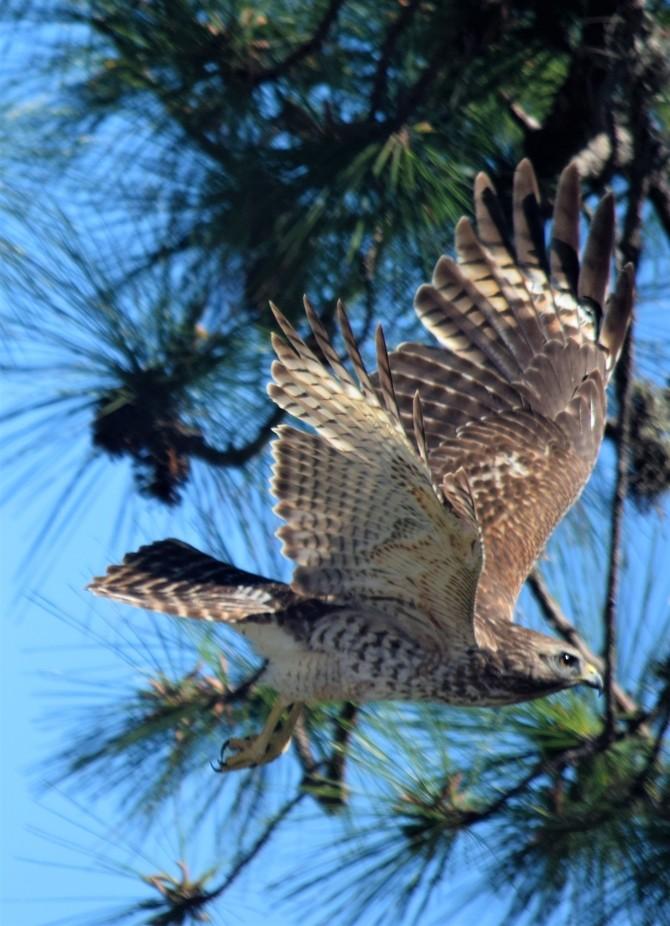 Hawk taking wing