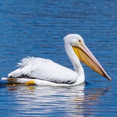 White American Pelican