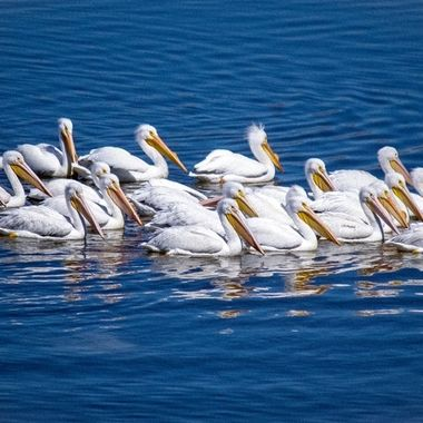 Rare picture of American White Pelicans in Tennessee
