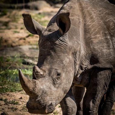 Rhinoceros 4