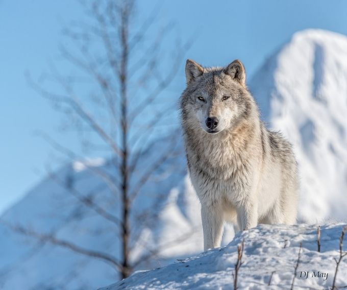 Tundra wolf by DJMay - Wolves Photo Contest