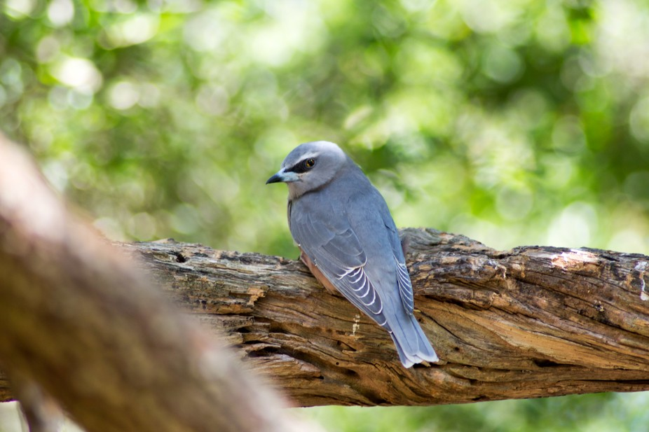 White-Browed Woodswallow sneakily peeking over a shoulder to see what I was up to.