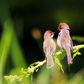 Cisticolas having an intimate conversation after grooming each other