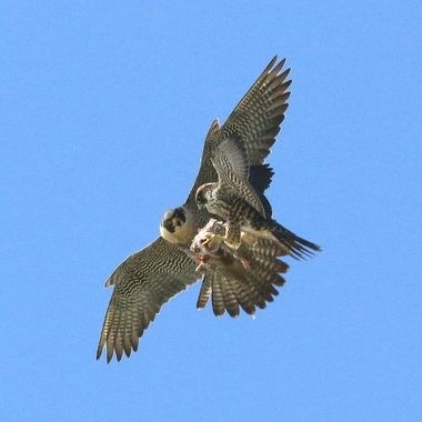 Peregrine Falcon mid air food transfer img_3755