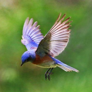 Western bluebird IMG_0451