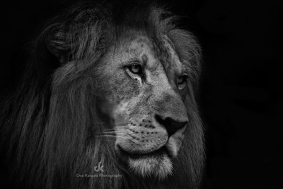The Dark Side of Animals - Lion
