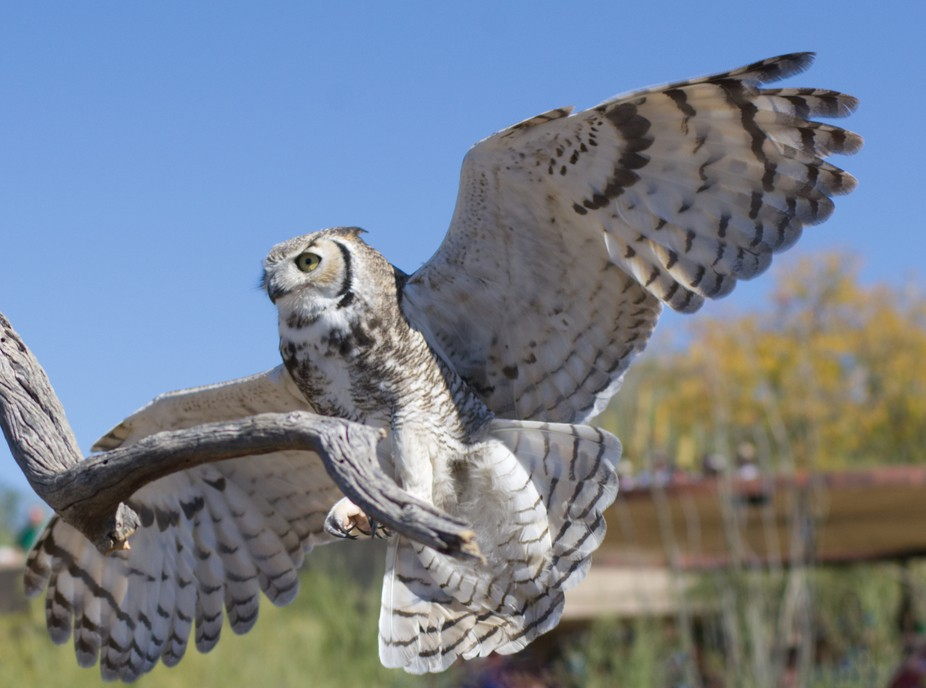 I started shooting this owl 200 yards away and caught him just as he flared for landing