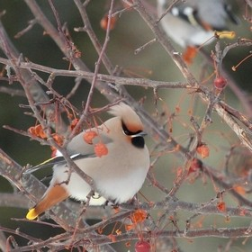 This Bohemian Waxwing enjoying the fruit tree.