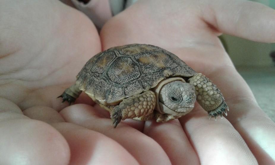 My little desert tortoise