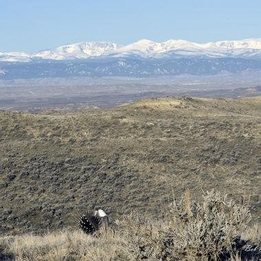 Sage Grouse strutting with the Bighorn Mountains in the back ground.