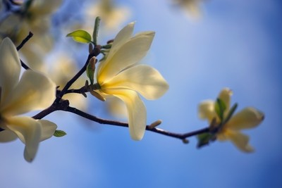 Magnolia flowers in spring time