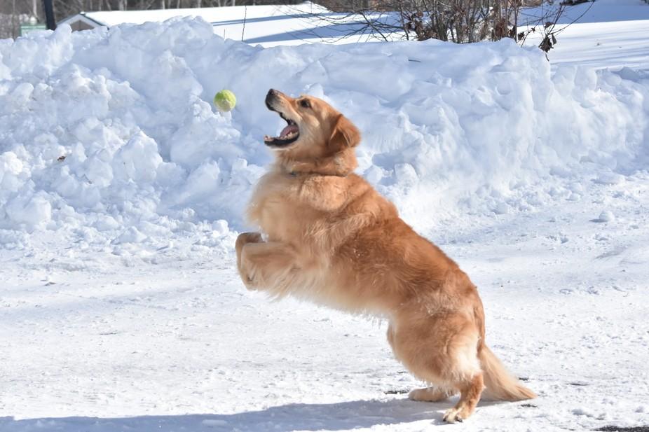 My Golden Retriever loves to catch his tennis ball!