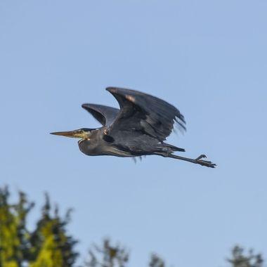 Classic Heron