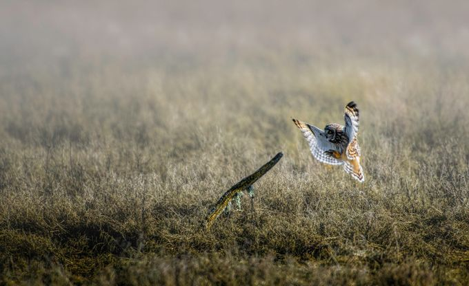 Mistic Landing by shawnvoloshin - Only Owls Photo Contest