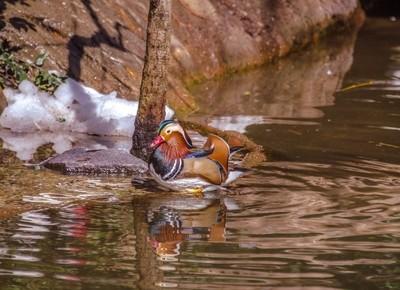 Mandarin Duck on a Golden Hued Pond
